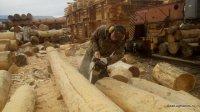 Bear log - good houses of cedar