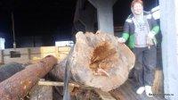 Felling log cabins Bear log - houses of cedar