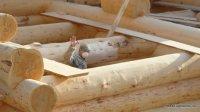 Bear log - home of cedar. Work site in Siberia